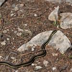 Snake of Cyprus Lake