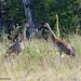 Small photo of Sandhill Cranes, Grus canadensis