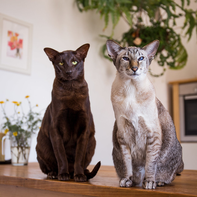 Oriental Shorthair Cat Pictures and Information - Cat ... Oriental Cat Lifespan