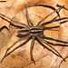 Rabid Wolf Spider - Photo (c) David Hill, some rights reserved (CC BY)