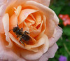 Rose 'Peachy' with bee
