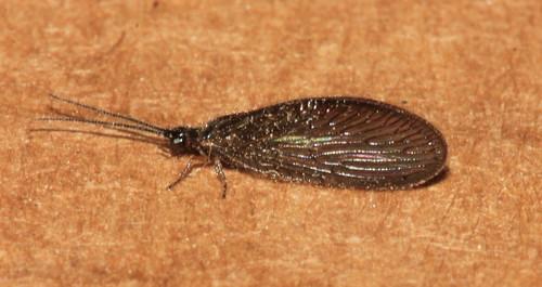 Sisyra nigra 31437