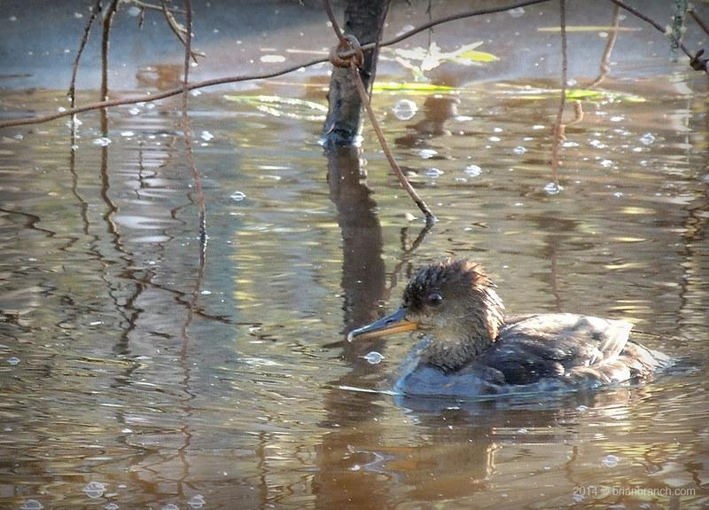 DSCN8902_duck