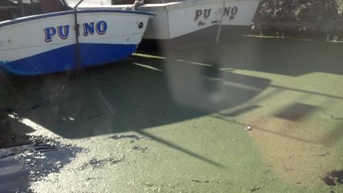 티티카카 호수의 녹조라테