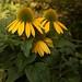 Echinacea II