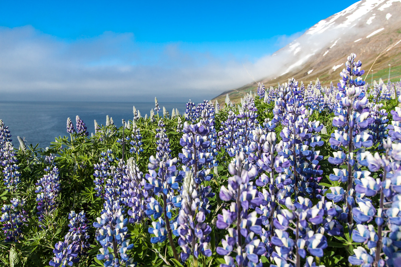 Iceland. Fjords and flowers