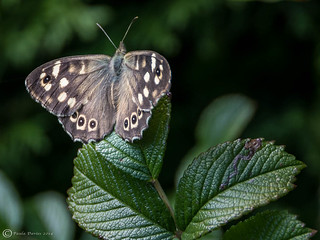 Speckled Wood. No 23 'Spots or Dots' for 52 in 2014