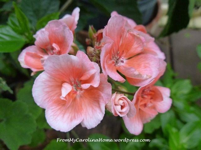 Garden September 9 -geranium