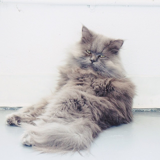 This is Goblin falling asleep.  2 seconds after this picure was taken he was upside down on the floor.  What a guy. #goblin #cats #cat #persiancat #Persian #fluffy #fluffball #kitten #furry #catsofinstagram #greycat  #cutie #catlady