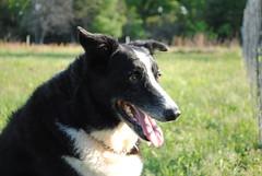 collie(0.0), border collie(1.0), dog breed(1.0), animal(1.0), dog(1.0), pet(1.0), karelian bear dog(1.0), carnivoran(1.0),