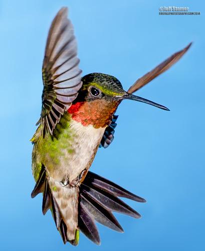 macro hummingbird rubythroatedhummingbird hummers