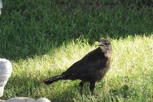 #80 Great-tailed Grackle (Quiscalus mexicanus)