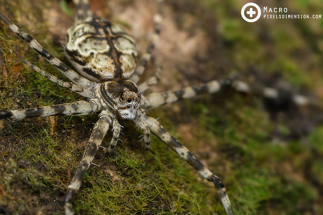 Hersilia sumatrana ♀ - Sumatran Two-tailed Spider
