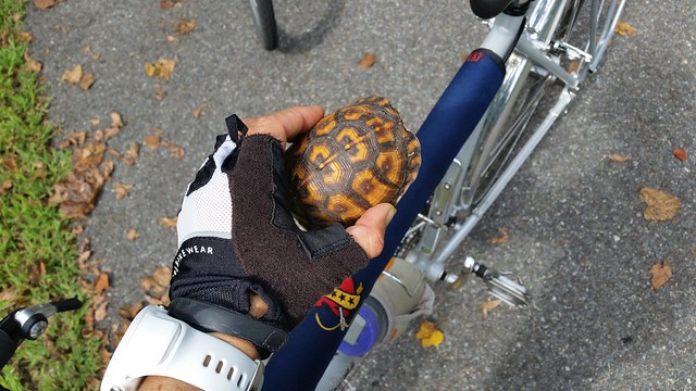 Traumatized turtle I rescued from the bike path.