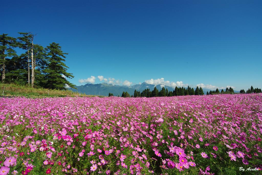 入秋的福壽山波斯菊