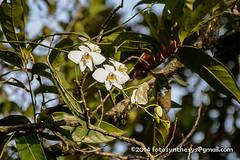 Moth Orchid (Phalaenopsis amabilis) DSC_2639