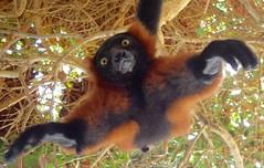 animal, primate, fauna, wildlife,