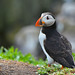 Puffin by After-the-Rain
