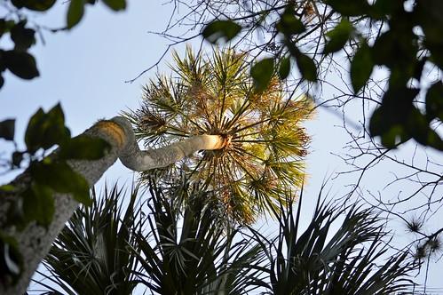 florida dof ncmountainman nikon d3200 phixe tree palm palmtree leaves sky trunk highlandshammockstatepark