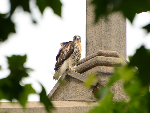 Cathedral Hawk Fledgling (1459)