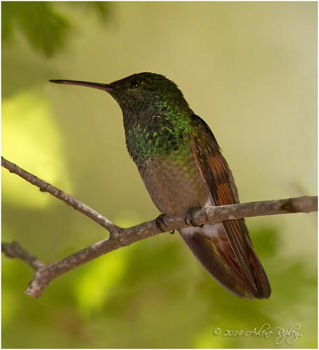 beryllinehummingbird amaziliaberyllina