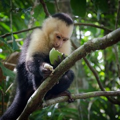 tufted capuchin(0.0), squirrel monkey(0.0), macaque(0.0), animal(1.0), branch(1.0), monkey(1.0), mammal(1.0), capuchin monkey(1.0), fauna(1.0), spider monkey(1.0), white-headed capuchin(1.0), old world monkey(1.0), new world monkey(1.0), jungle(1.0), wildlife(1.0),