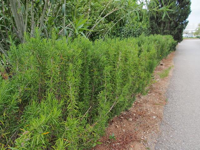 迷迭香是路邊的綠籬植物