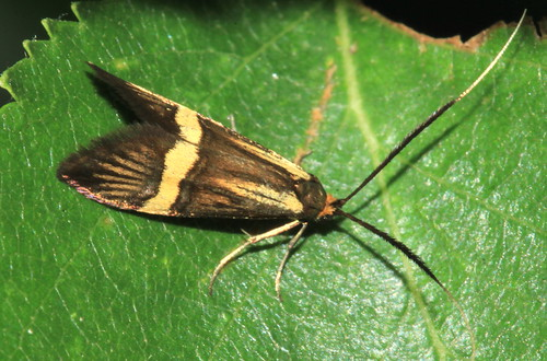 Nemophora degeerella 29886