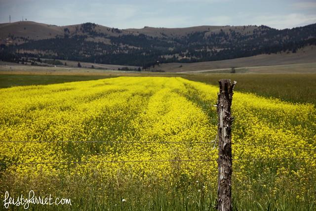 Montana Elkhorn Canola 7_feistyharriet_July 2014