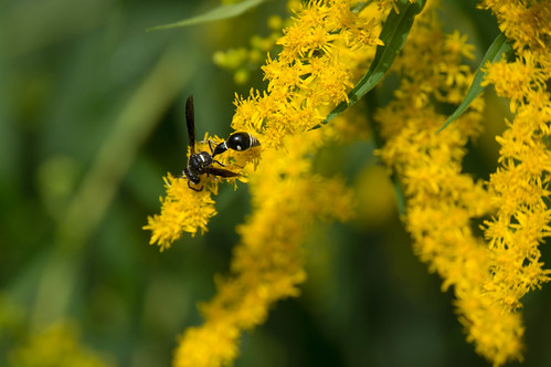 08812 Potter Wasp on Smooth Goldenrod