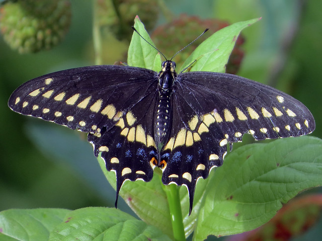 Eastern Black Swallowtail (Papilio polyxenes) male
