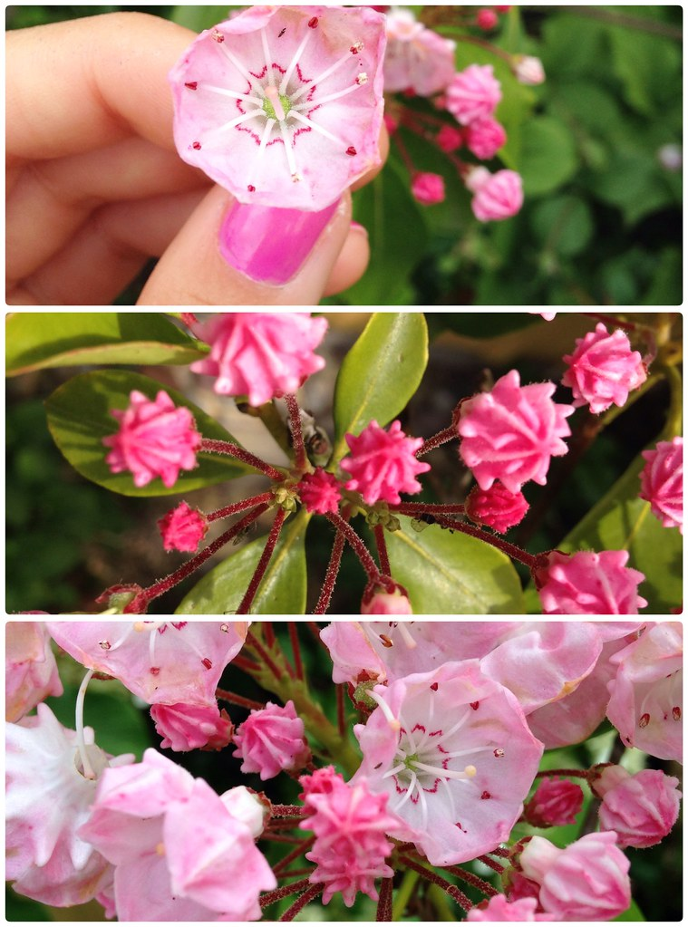 Kalmia bud + flower