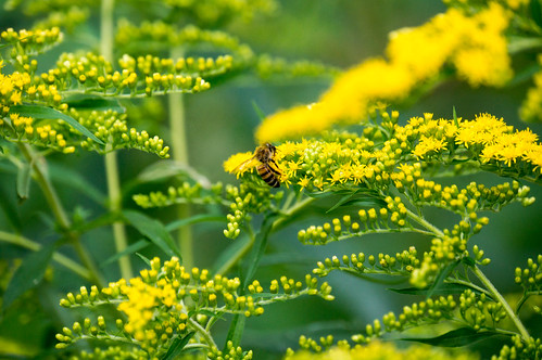 08272 Honey Bee on Smooth Goldenrod
