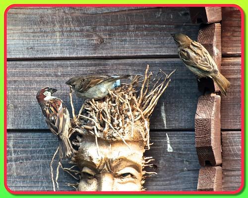 Sparrow Family 03