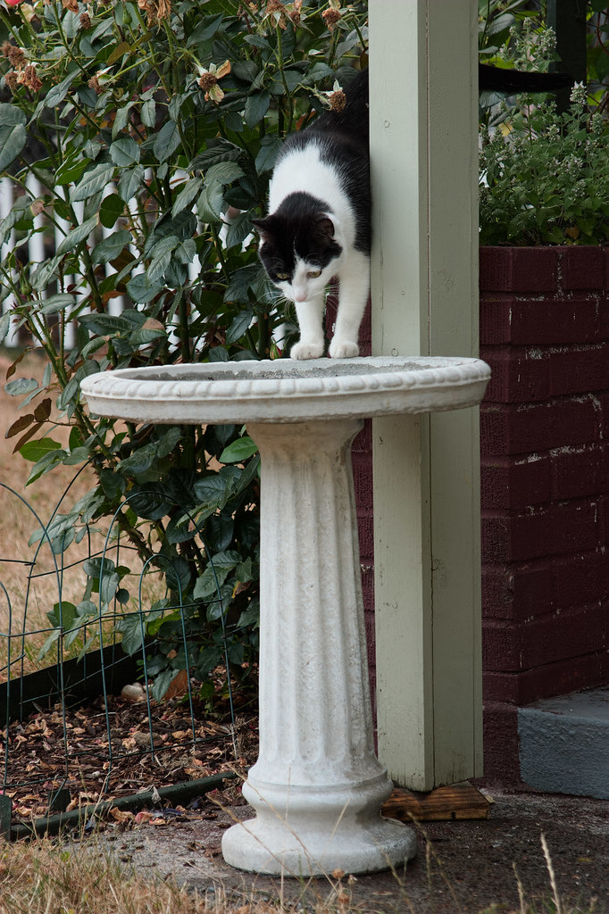 Our cat Scout stepping into the birdbath