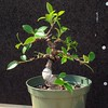 #ficus #microcarpa #bonsai wired