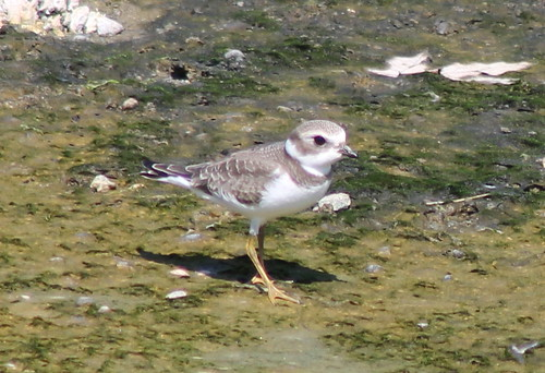 charadriussemipalmatus semipalmatedplover birdsofwashington washingtonbirds
