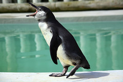 Shouting Penguin