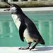 Shouting Penguin by riggy-riggo