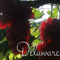 Delaware Coming Along Nicely, With Some Beautiful Color!! @wagnerflx #wagnervineyards #flx #flxwine #fingerlakes #vineyard #vineyards #vineyardlife