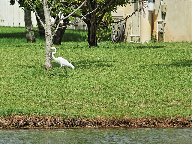 Great Egret walking at 140 meters 20140818