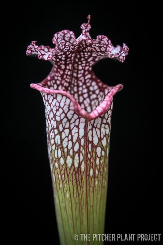 """Sarracenia leucophylla """"Red"""""""