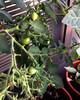 Riesentraube tomatoes