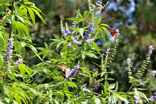 CrabAppleLane Butterflies - August 31, 2014