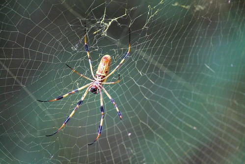 CrabAppleLane Golden Silk Orb-Weaver - September 22, 2014