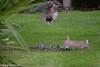 Rabbit scaring hawk eating moorhen