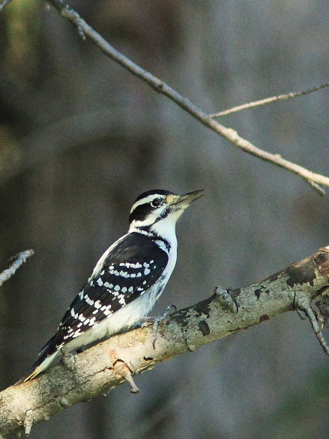 Hairy Woodpecker 2-20140926