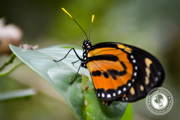 Banded Orange Butterfly Brazilian Amazon