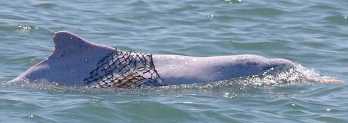 傷疤照片,照片來源:林務局,中華白海豚族群生態與棲地環境 噪音監測計畫