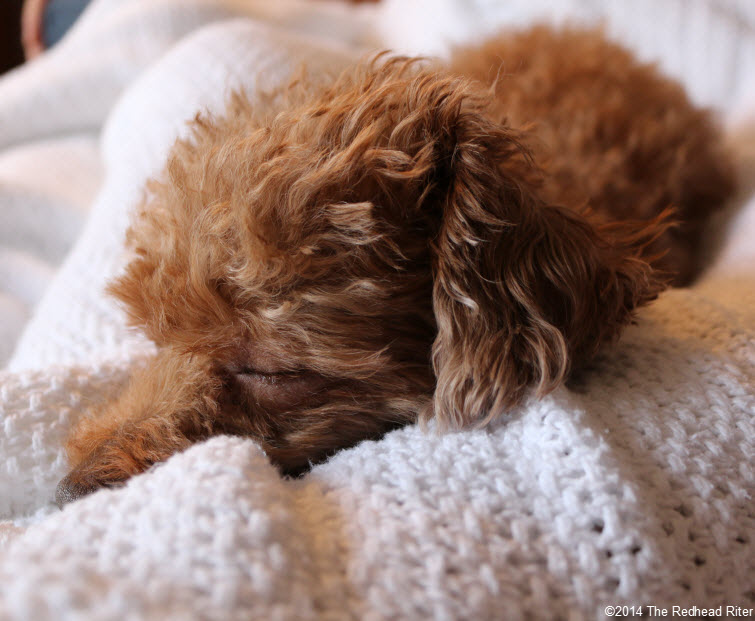 sleeping red toy poodle - Committed, Understanding, Comforting And Loves Me Unconditionally